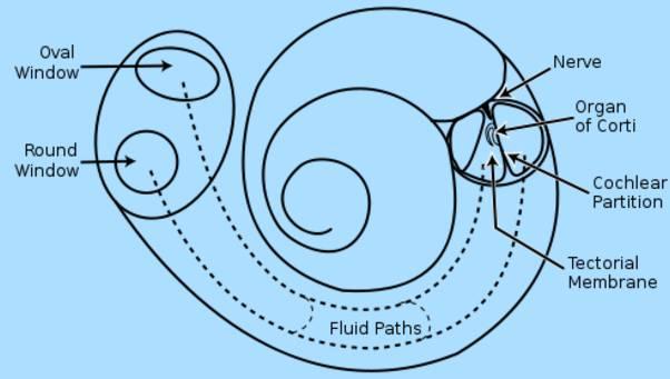Human Ear Cochlea diagram